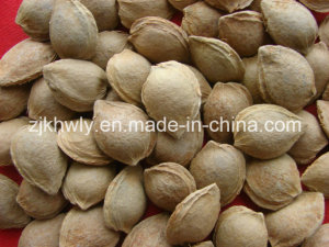 Sweet Almond in Shell (youyi 18-20mm)