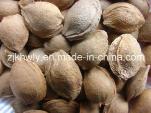 Sweet Almond in Shell