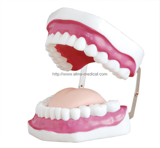 Dental Care Model (28 Teeth)