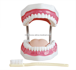 Dental Care Model (32 Teeth)