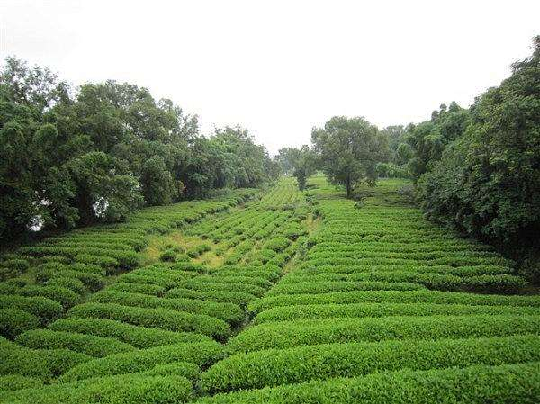 Wuyishan Tea Growing Region