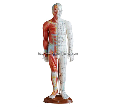 Acupuncture & Muscle Model55CM Male